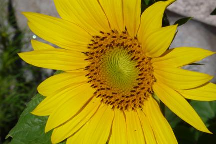 Spflower3