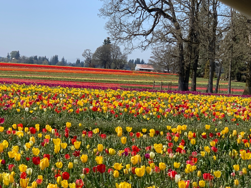 Tulipfieldtree