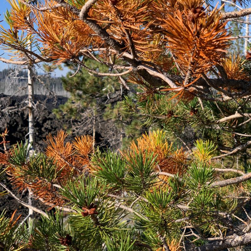 9.pinetree (1)
